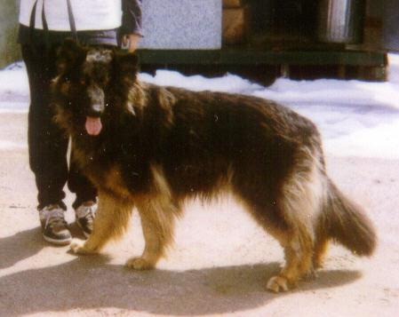 Harry, long haired German Shepherd